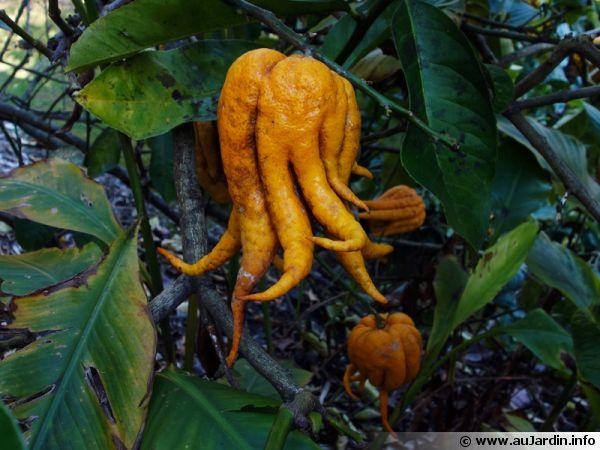 Main de Bouddha, Citrus medica var sarcodactylis