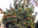 Un oranger