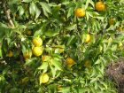 Yuzu, Citron du Japon, Citrus x junos