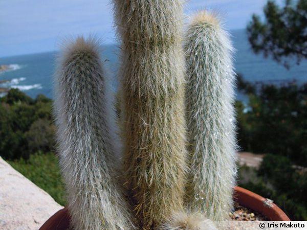 Cactus cierge, Cleistocactus Strausii