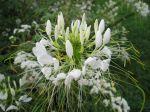 Cléome, Fleur araignée, Cleome spinosa