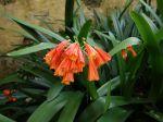 Clivie noble, Lis des forêts, Clivia nobilis