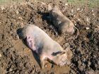 Élever un cochon