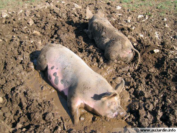 Des cochons se prélassent dans la boue ...