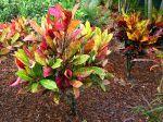 Croton en extérieur dans un jardin aux Caraïbes