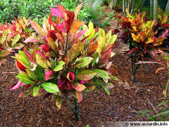 Croton manteau de joseph for Plante tropicale exterieur