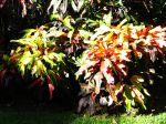 Croton crispum aux feuilles ondulées