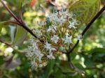 Cornouiller blanc, Cornus alba 'Kesselringii'