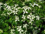Les cornouillers à floraisons décoratives