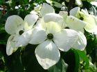 Cornouiller à fleurs Vénus, Cornus x 'Venus'®