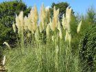Entretenir l'herbe de la pampa
