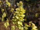 Noisetier d'hiver, Faux-noisetier, Corylopsis aux longs épis, Corylopsis spicata