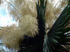 Corypha umbraculifera ou palmier Talipot est un des plus grands palmiers au monde