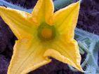 Fleur femelle de courge