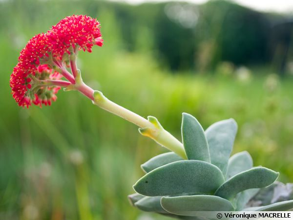Crassula à faucilles, Plante à hélice, Crassula falcata