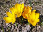 Crocus aux fleurs jaunes