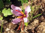Safran, Crocus sativus