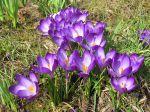 Crocus aux fleurs violettes