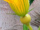 Base enflée de la fleur femelle des cucubirtacées