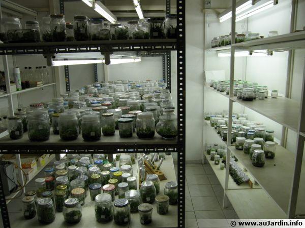 La régénération se pratique en labo et en milieu stérile, généralement sous culture in-vitro.