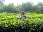 Culture de thé en Inde, récolte par une indienne