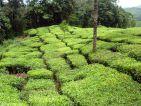 Culture de thé en Inde, vue des champs de théiers