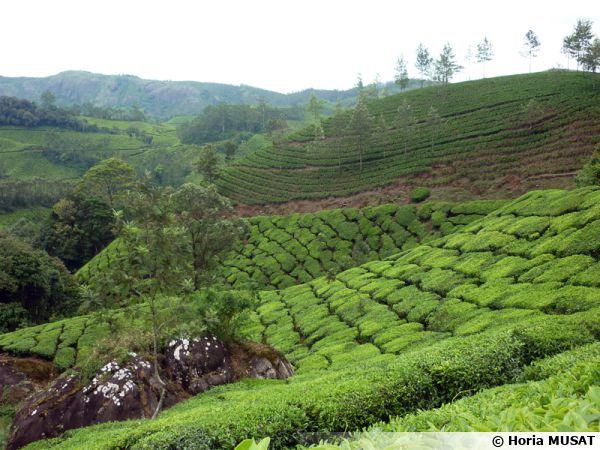 Culture de thé en Inde