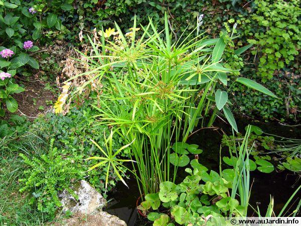 Cultiver le papyrus en pot for Belle plante exterieur