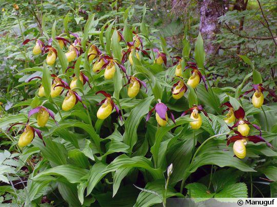 Sabot de venus d 39 europe cypripedium calceolus - Orchidee sabot de venus ...