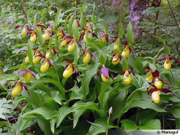 Sabot de v nus d 39 europe cypripedium calceolus conseils de culture - Sabot de venus orchidee ...