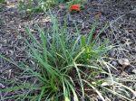 Lis de feu, Cyrtanthus angustifolius