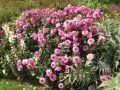 Hâter la végétation du Dahlia