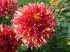 Le dahlia, un festival de couleurs et de formes