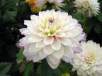 Dahlia fleur