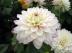 Dahlia commun, Dahlia x pinnata