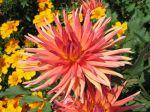 Fleur de dahlia type cactus
