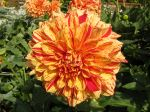Fleur de dahlia type décoratif