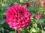 Fleur de dahlia type pompon