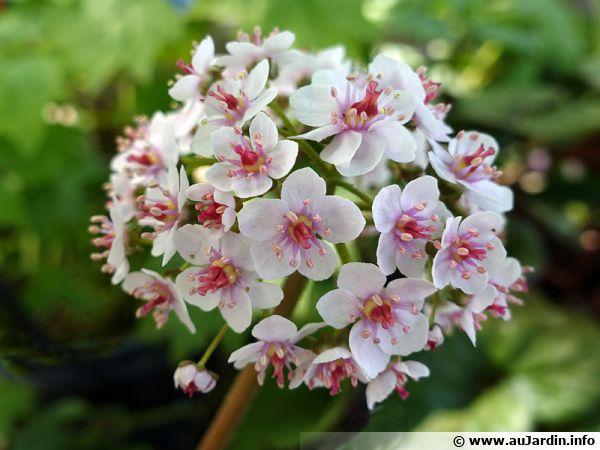Darmera Pelte Rhubarbe Indienne Plante Parapluie Darmera Peltata