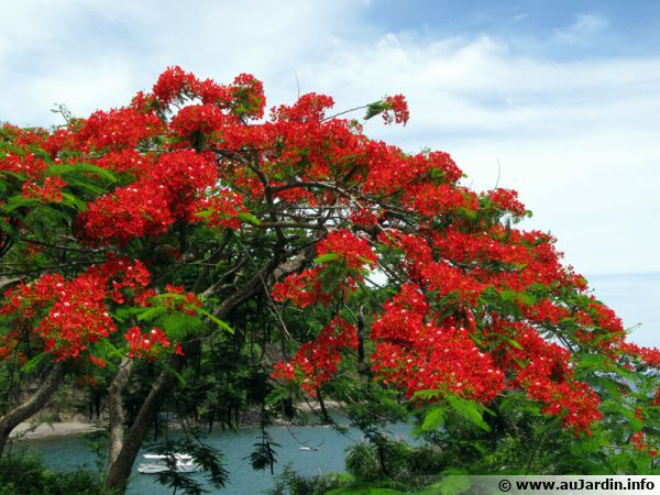 plante exotique flamboyant