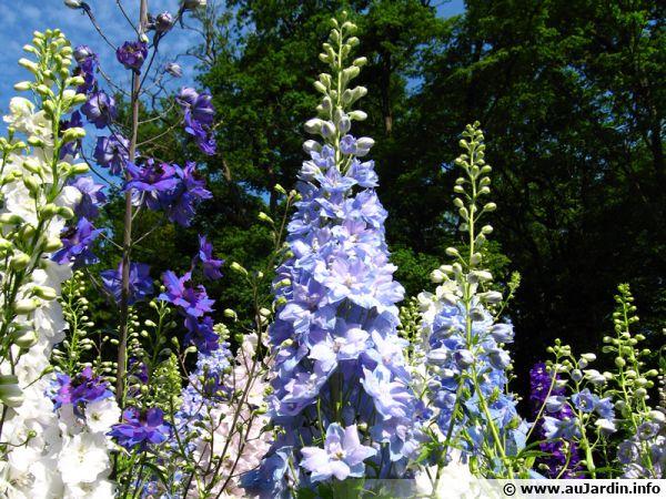 Les grands Delphinium de couleur bleu profond...