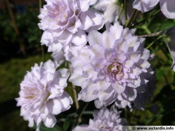 Delphinium x elatum, Pied d'alouette