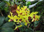 Orchid�e bambou, Dendrobium 'tongchai gold'
