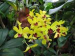 Orchidée bambou, Dendrobium