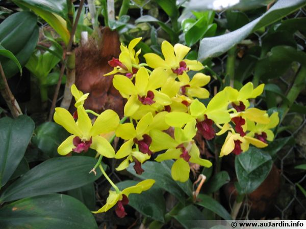 Orchidée bambou, Dendrobium 'tongchai gold'