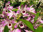 Fleurs du Dendrobium nobile