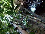 Bambou géant, Bambou asper, Dendrocalamus asper