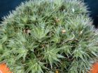 Abromeitiella tapissante,  Deuterocohnia brevifolia