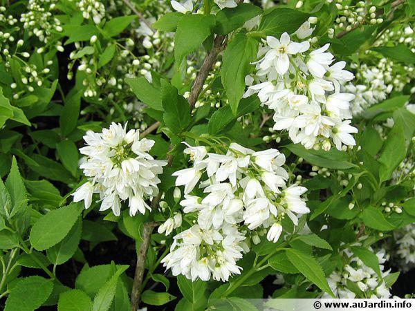 Deutzie grêle, Deutzia gracilis