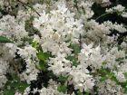 Famille des Hydrangeac?es, Philadelphac?es / Hydrangeaceae
